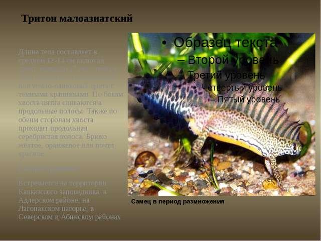 Тритон малоазиатский Длина тела составляет в среднем 12-14см включая хвост,...