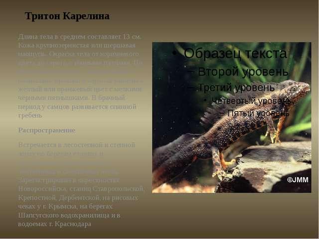 Тритон Карелина Длина телав среднем составляет 13 см. Кожа крупнозернистая и...