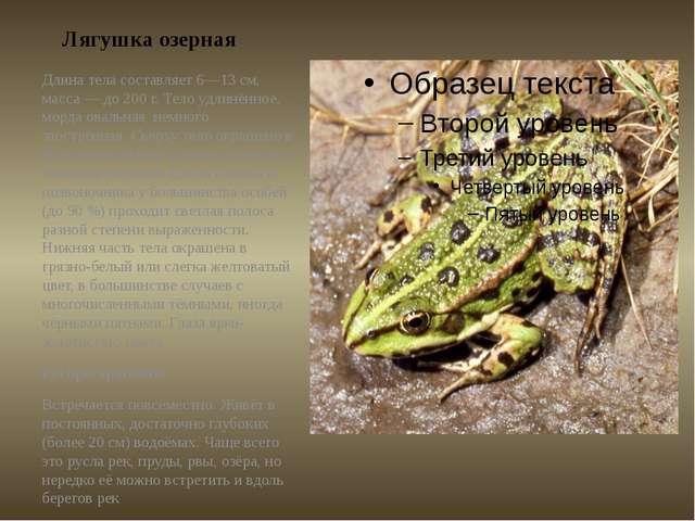 Лягушка озерная Длина тела составляет 6—13см, масса— до200г. Тело удлинён...