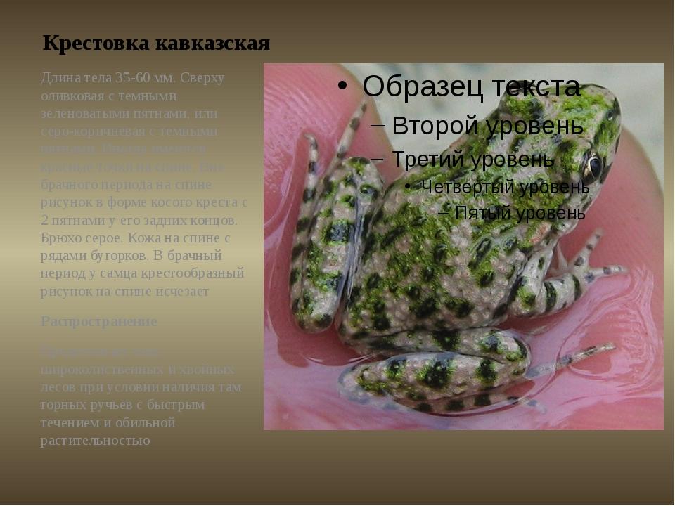 Крестовка кавказская Длина тела 35-60 мм. Сверху оливковая с темными зеленова...