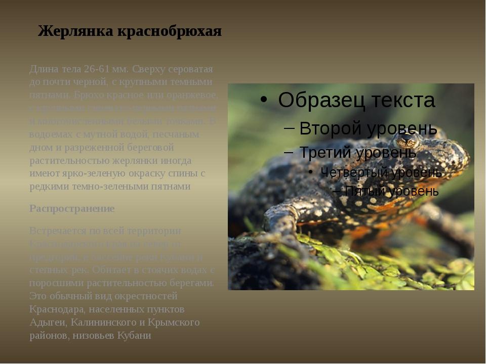 Жерлянка краснобрюхая Длина тела 26-61 мм. Сверху сероватая до почти черной,...