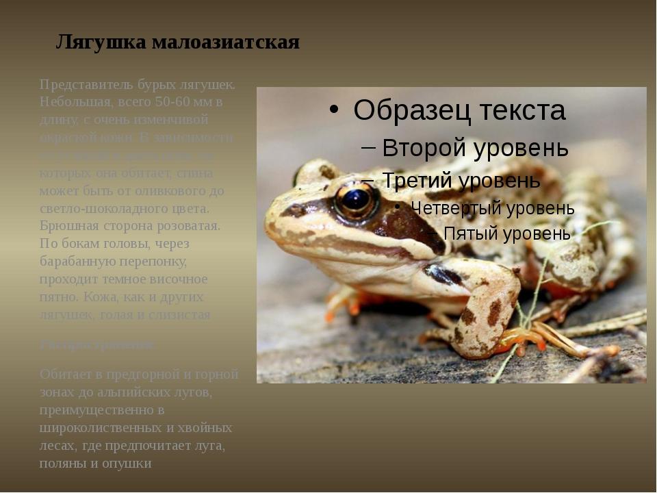 Лягушка малоазиатская Представитель бурых лягушек. Небольшая, всего 50-60 мм...