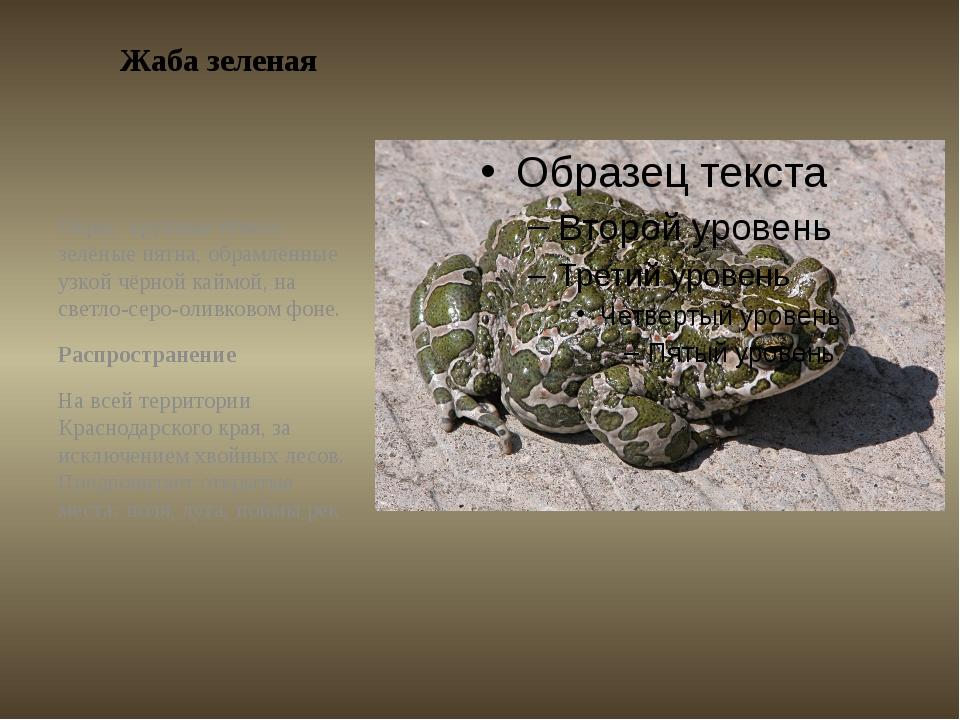 Жаба зеленая Окрас: крупные тёмно-зелёные пятна, обрамлённые узкой чёрной кай...