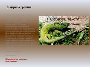 """Ящерица средняя Самый крупный вид из группы """"зеленых"""" ящериц. Длина вместе с"""