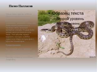 Полоз Палласов Общая длина змеи до 1 м 80 см. Окраска верхней стороны тела —