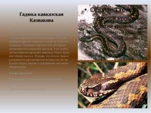Гадюка кавказская Казнакова Тело длиной до 60 см. Голова очень широкая с силь