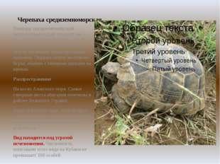 Черепаха средиземноморская Панцирь средиземноморской черепахи выпуклый, гладк