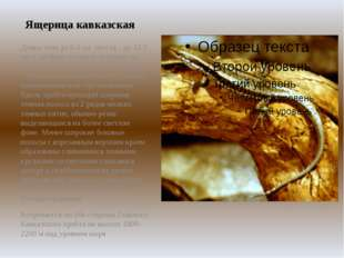 Ящерица кавказская Длина тела до 6,4 см, хвоста - до 12,2 см. Стройная скальн