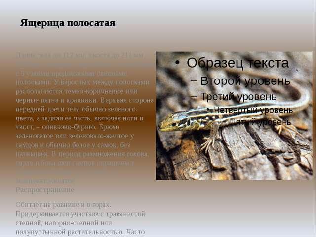 Ящерица полосатая Длина тела до 112 мм, хвоста до 211 мм. Молодые ящерицы кор...