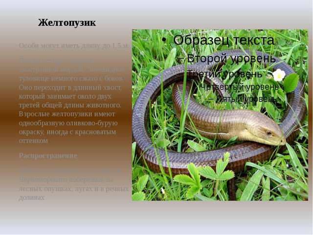 Желтопузик Особи могут иметь длину до 1,5 м. Голова четырёхгранная с заострен...