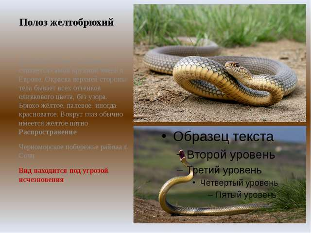 Полоз желтобрюхий Достигает более 2 м длины и считается самой крупной змеёй в...