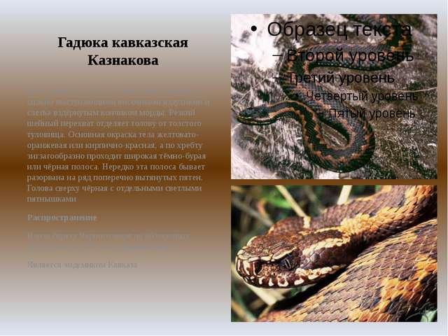 Гадюка кавказская Казнакова Тело длиной до 60 см. Голова очень широкая с силь...