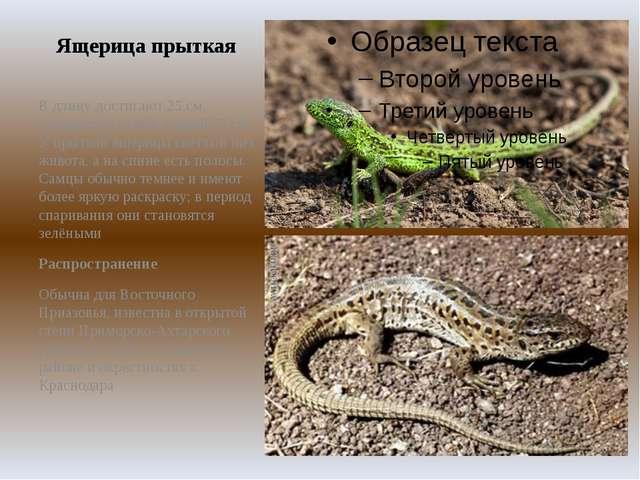 Ящерица прыткая В длину достигают 25см, попадаются особи длиной 35см. У пры...