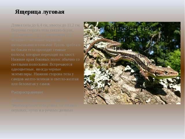 Ящерица луговая Длина тела до 6,4 см, хвоста до 11,2 см. Верхняя сторона тела...