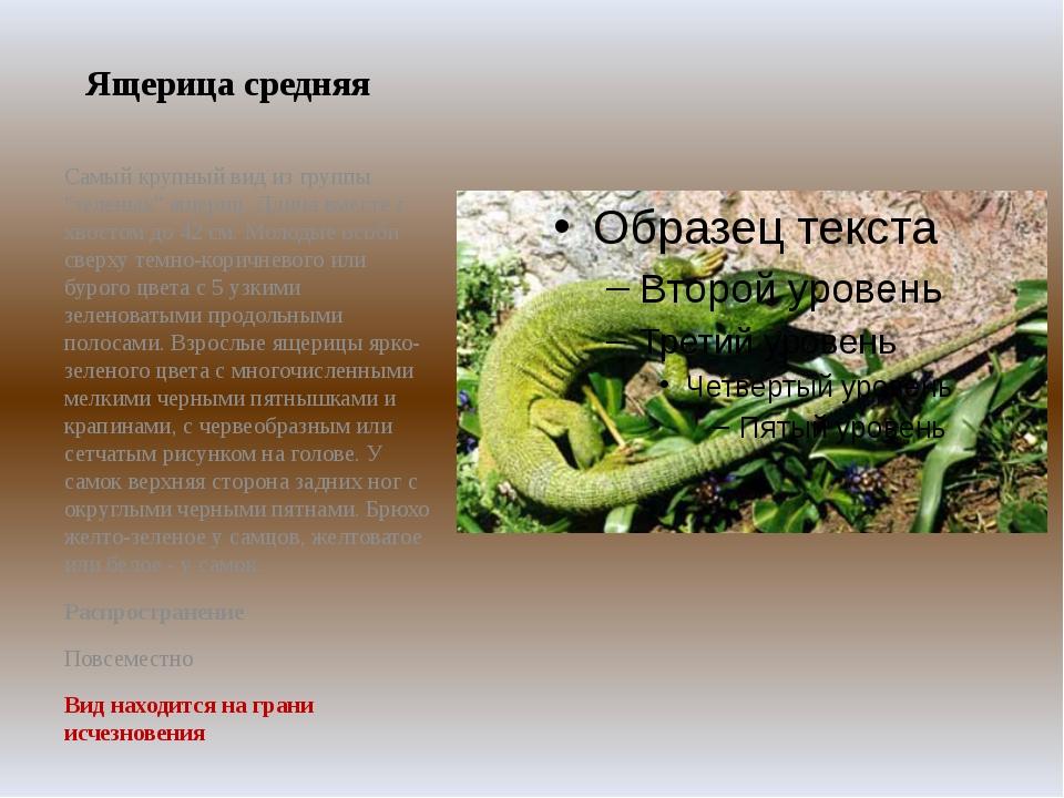 """Ящерица средняя Самый крупный вид из группы """"зеленых"""" ящериц. Длина вместе с..."""