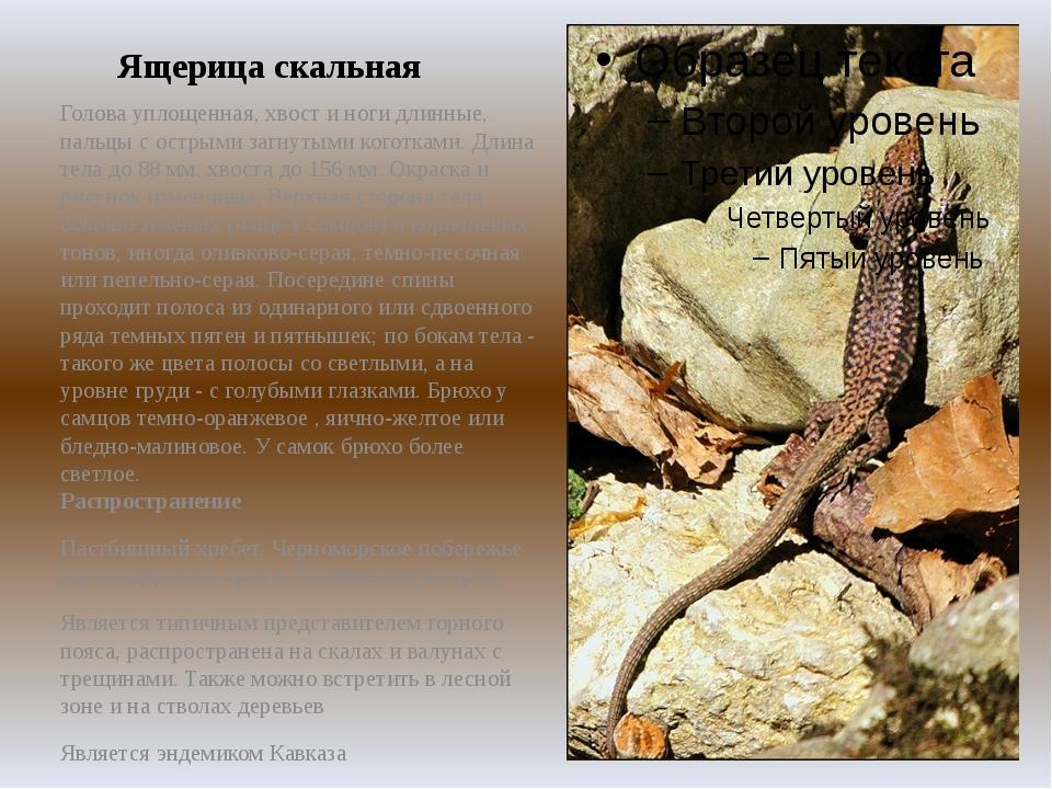 Ящерица скальная Голова уплощенная, хвост и ноги длинные, пальцы с острыми за...
