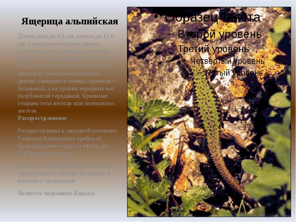 Ящерица альпийская Длина тела до 6,5 см, хвоста до 11,6 см. Спина зеленого ил...