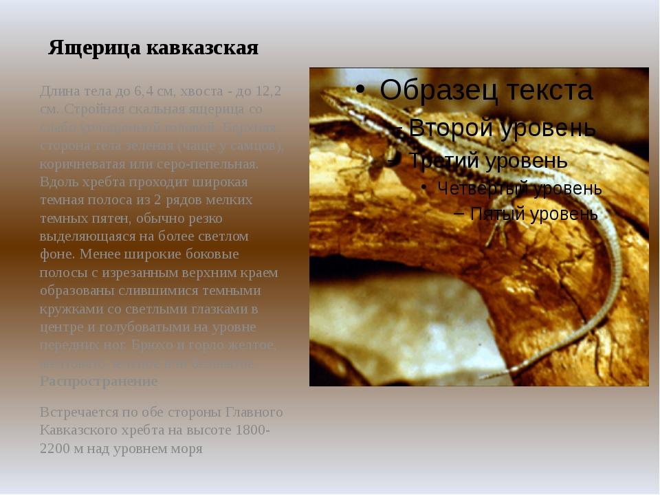 Ящерица кавказская Длина тела до 6,4 см, хвоста - до 12,2 см. Стройная скальн...