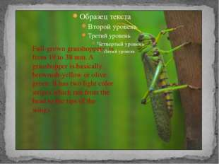 Full-grown grasshoppers is from 19 to 38 mm. A grasshopper is basically brow