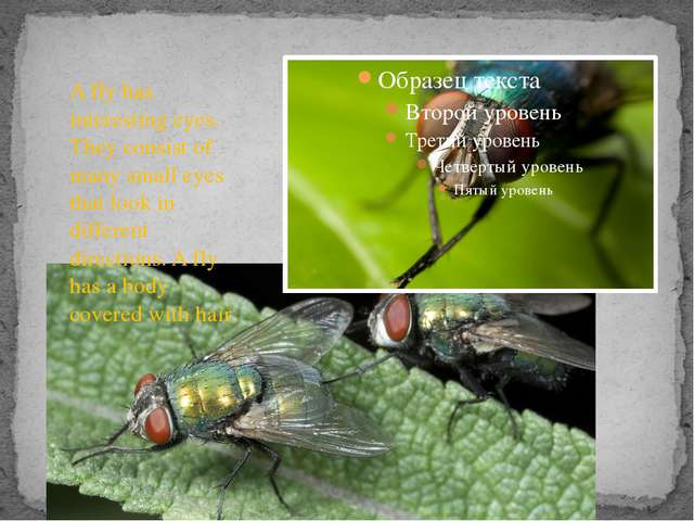 A fly has interesting eyes. They consist of many small eyes that look in dif...