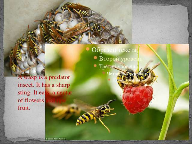 A wasp is a predator insect. It has a sharp sting. It eats a nectar of flowe...