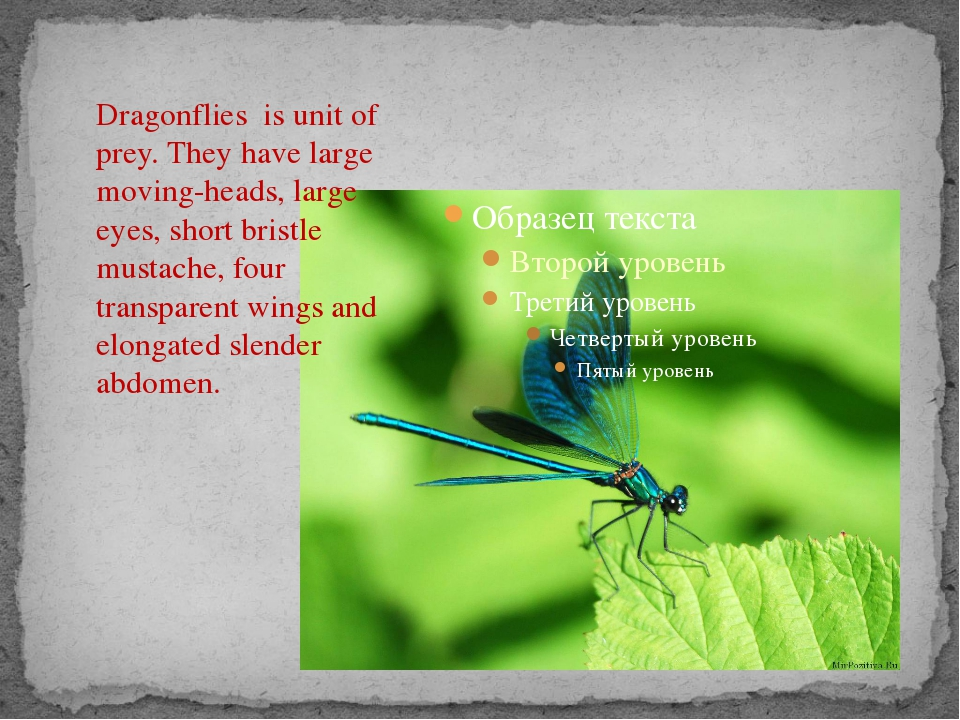 Dragonflies is unit of prey. They have large moving-heads, large eyes, short...