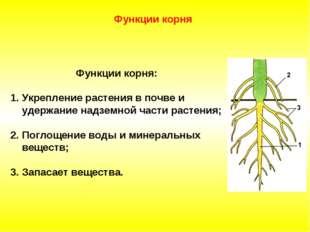 Функции корня: Укрепление растения в почве и удержание надземной части раст