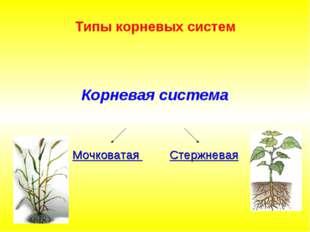 Типы корневых систем Корневая система Стержневая Мочковатая