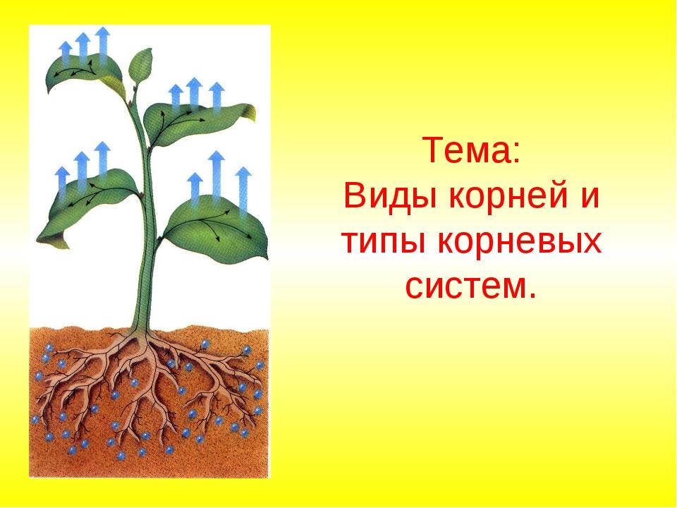 Тема: Виды корней и типы корневых систем.