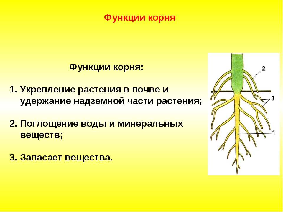 Функции корня: Укрепление растения в почве и удержание надземной части раст...