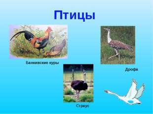 Птицы Страус Дрофа Банкивские куры