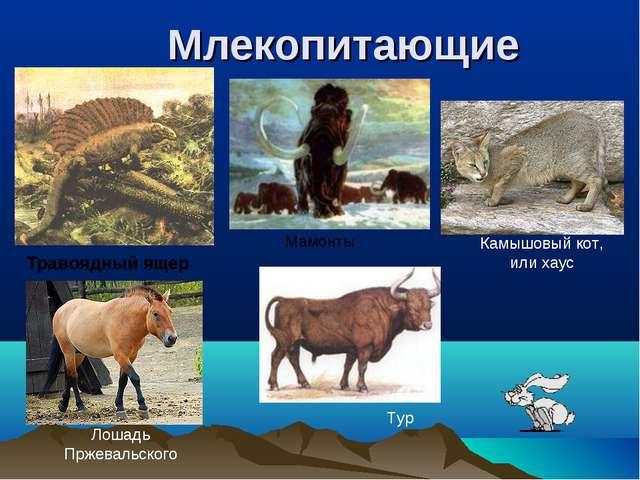 Млекопитающие Травоядный ящер Лошадь Пржевальского Камышовый кот, или хаус Ма...