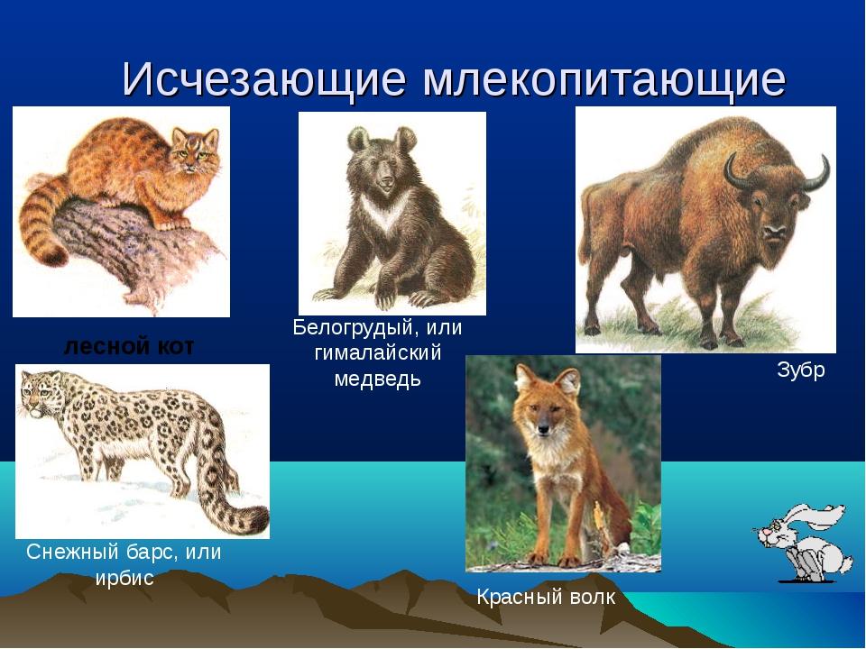 Исчезающие млекопитающие лесной кот Белогрудый, или гималайский медведь Снежн...