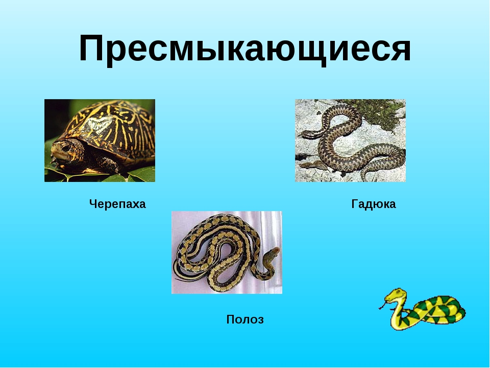 Пресмыкающиеся Черепаха Гадюка Полоз