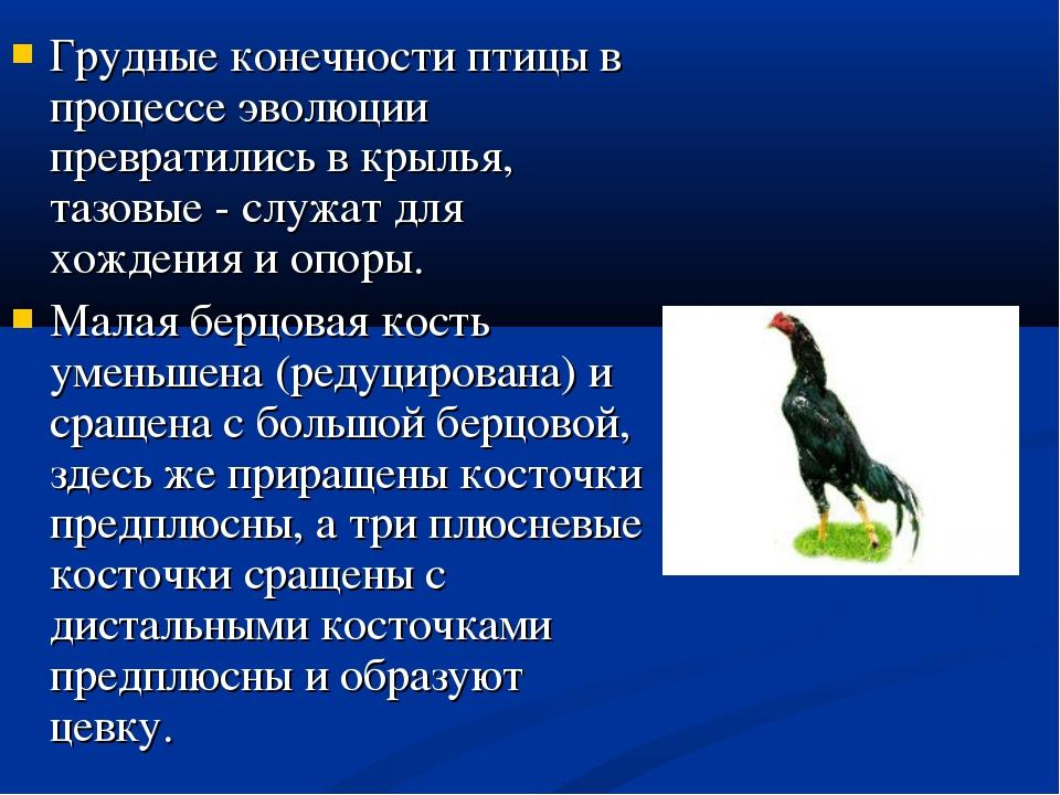 Грудные конечности птицы в процессе эволюции превратились в крылья, тазовые -...