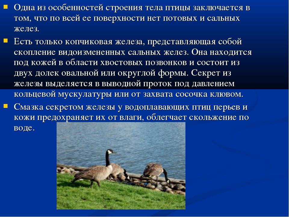 Одна из особенностей строения тела птицы заключается в том, что по всей ее по...
