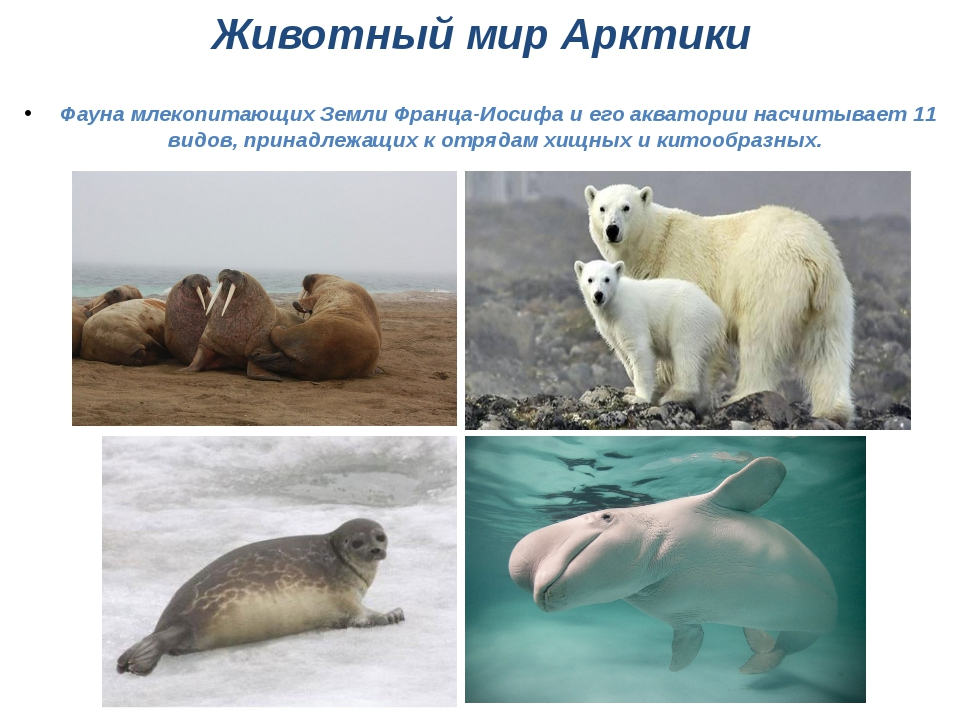 Животный мир Арктики Фауна млекопитающих Земли Франца-Иосифа и его акватории...