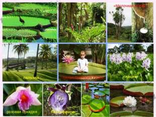 лилия Виктория Регия розовая орхидея пассифлора гиацинт пальмы «Молочная сос