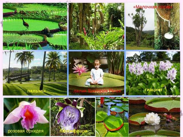 лилия Виктория Регия розовая орхидея пассифлора гиацинт пальмы «Молочная сос...