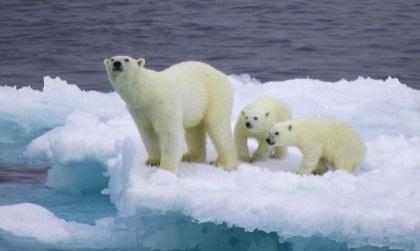 охота полярных медведей