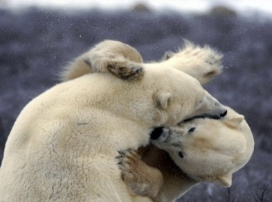 10 интересных фактов о белых медведях.