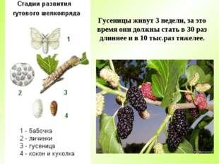 Гусеницы живут 3 недели, за это время они должны стать в 30 раз длиннее и в 1