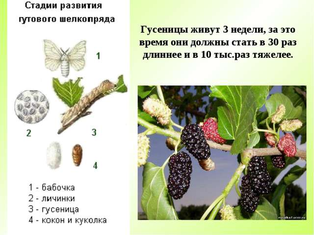 Гусеницы живут 3 недели, за это время они должны стать в 30 раз длиннее и в 1...