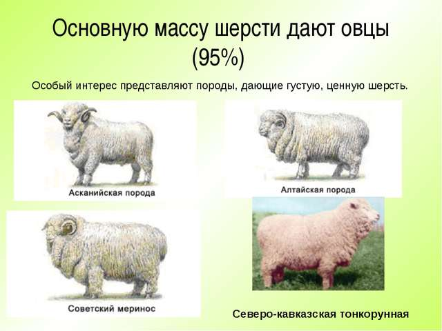 Основную массу шерсти дают овцы (95%) Особый интерес представляют породы, даю...