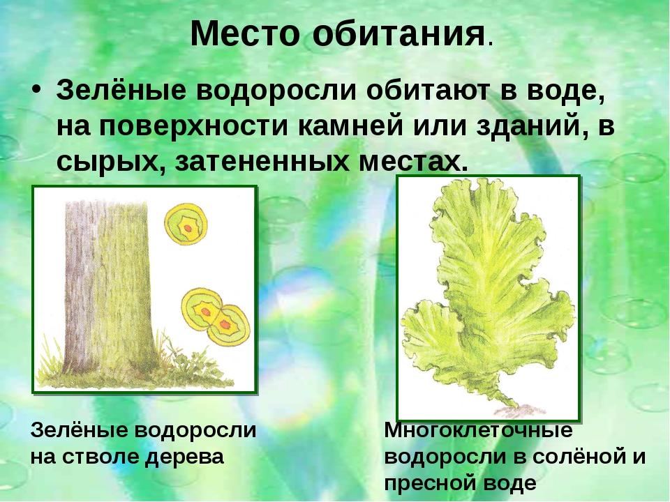 Зелёные водоросли обитают в воде, на поверхности камней или зданий, в сырых,...