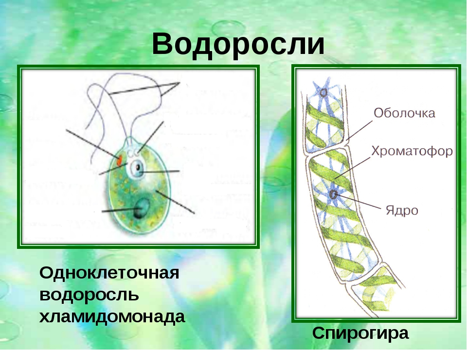Одноклеточная водоросль хламидомонада Спирогира Водоросли