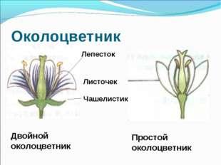 Околоцветник Лепесток Листочек Чашелистик Двойной околоцветник Простой околоц