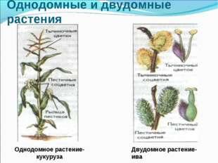 Однодомные и двудомные растения Однодомное растение-кукуруза Двудомное растен