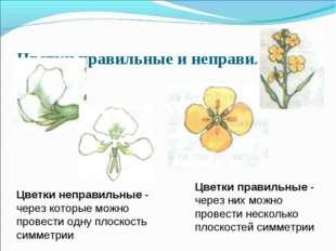 Цветки правильные и неправильные Цветки неправильные - через которые можно пр