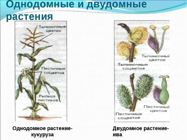 Однодомные и двудомные растения Однодомное растение-кукуруза Двудомное растен...